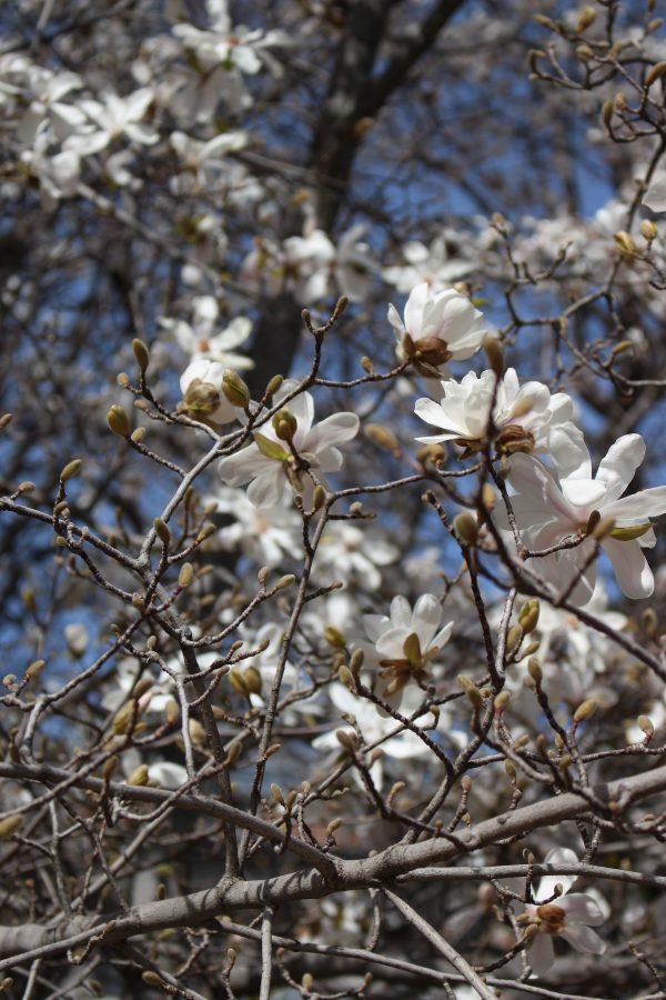 Fioritura della magnolia