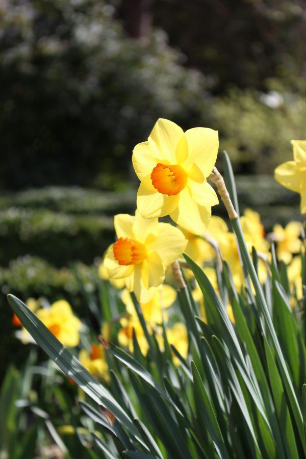Narcisi in fiore al giardino botanico